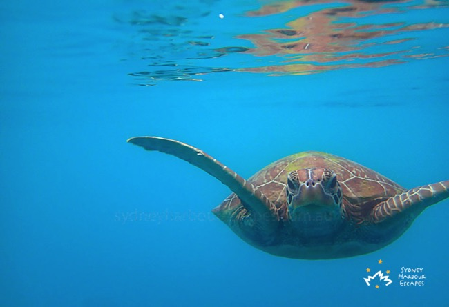 Underwater Turtle on Whitsundays